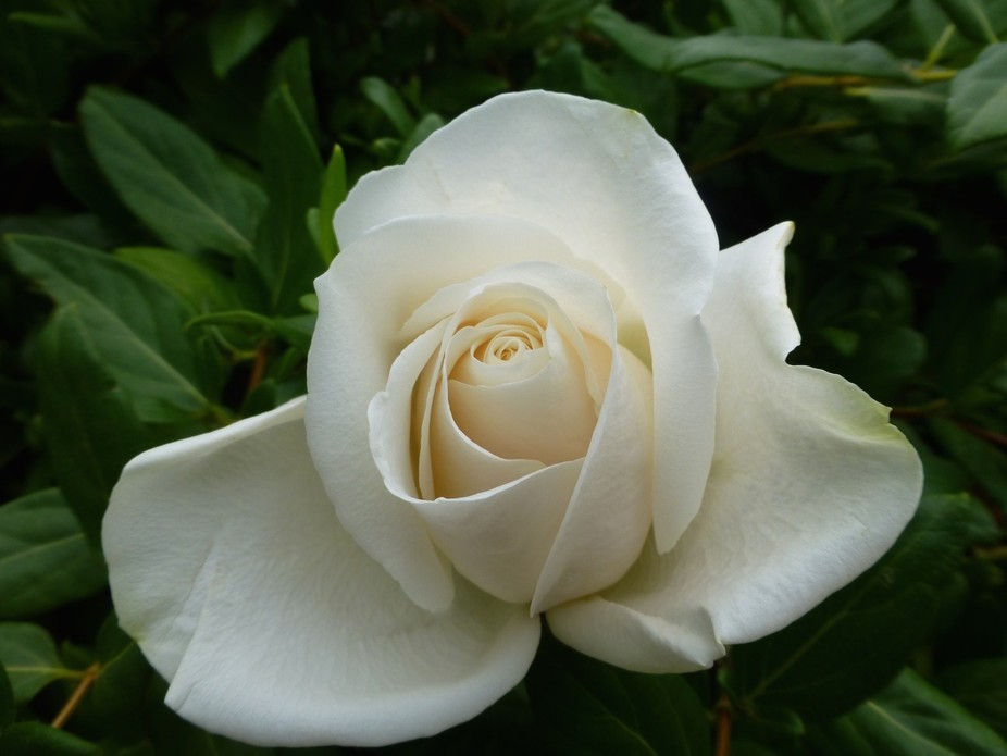 This exceptional rose was grown in our backyard. The placement of the petals is perfection. I fel...