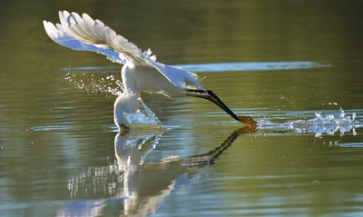 Snowy Egret Diving for Breakfast