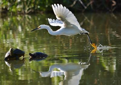 Snowy Egret and Friends