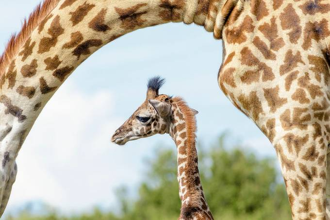 giraffe baby and mom by jowaniven - Curves And Compositions Photo Contest
