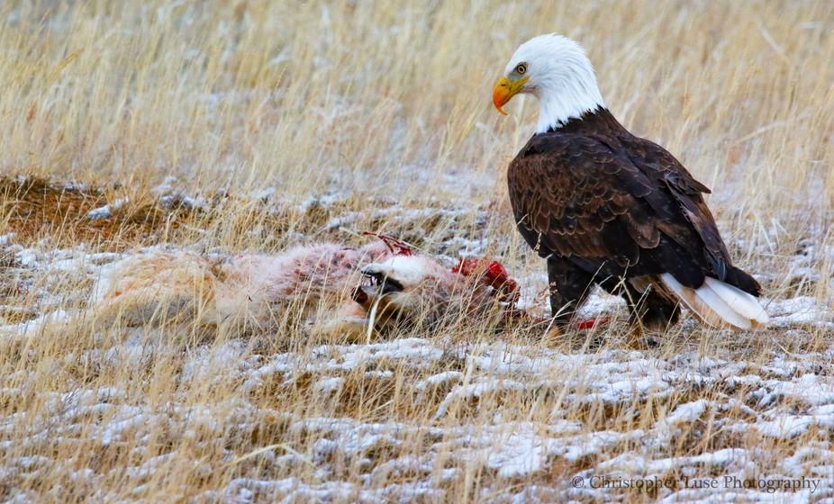 Bald eagle eating a coyote
