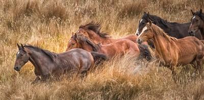 Feral Kaimanaw horses, New Zealand
