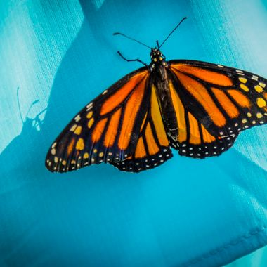 A monarch butterfly catching a ride on my wife's shirt at the Living Desert near Palm Springs, California.