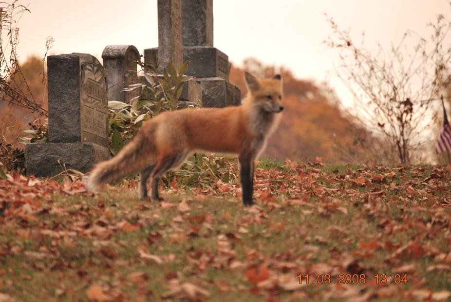 While visiting Ohio; we spotted this Red Fox that crossed the road directly in front of our truck...