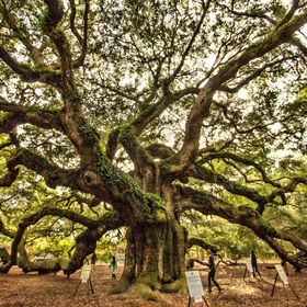 A wide-angle view of the Angel Oak tree near Charleston, South Carolina