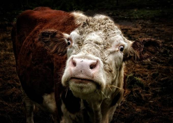 """Curley"" the Bull 62 by Dacemac - Farms And Barns Animals Photo Contest"