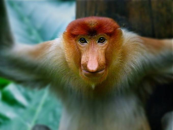 Proboscis monkey by gswanson27 - Monkeys And Apes Photo Contest