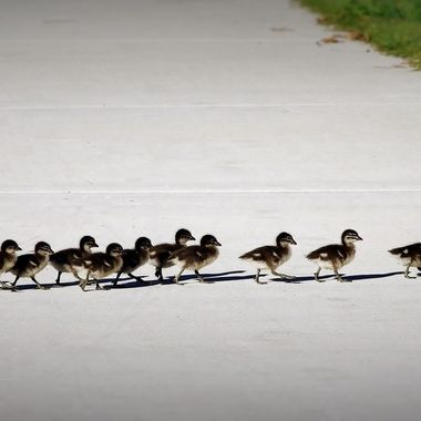 """Wood Duck Family - """"Left, right,left,right - keep in step!"""""""
