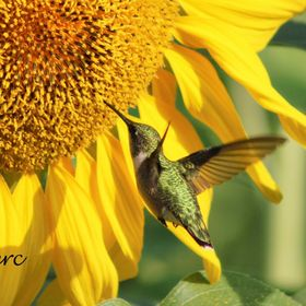 The hummingbird is one of my favorite subjects to photo.   I was able to capture this young lady feeding on a sunflower.