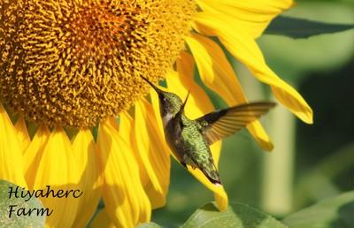 Hummingbird on Sunflower