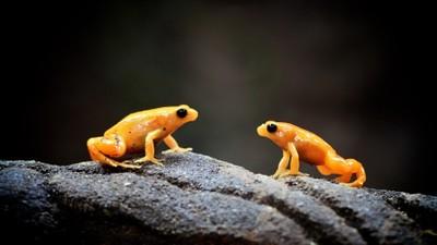 Golden Mantella Frogs
