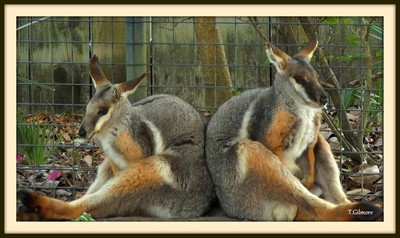 wallaby ( side by side )