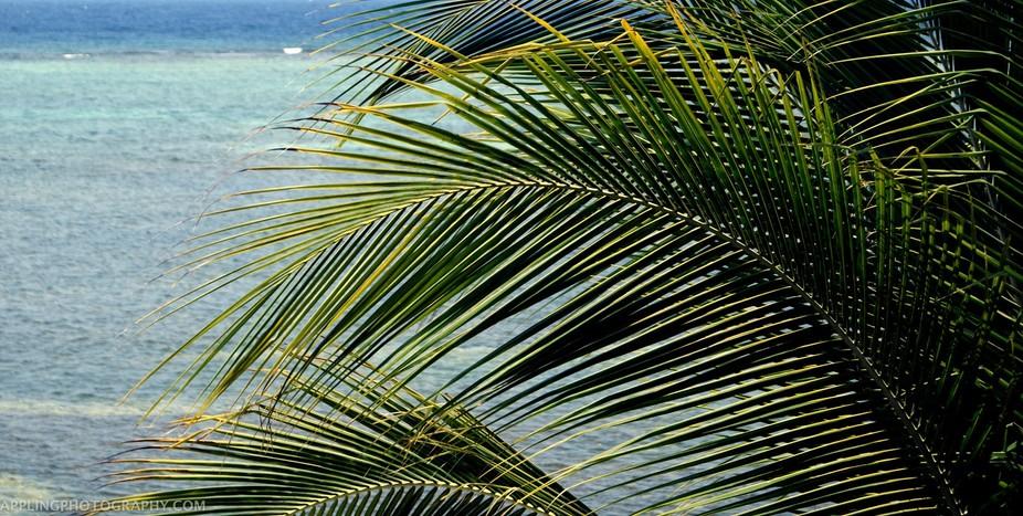 Roatan Palms large
