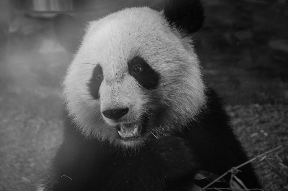 Panda Morning Breakfast With Bamboo At Zoo Atlanta