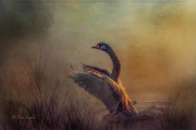 Swan2