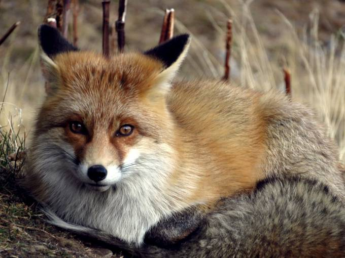 fox by boitasapin - Below My Knees Photo Contest