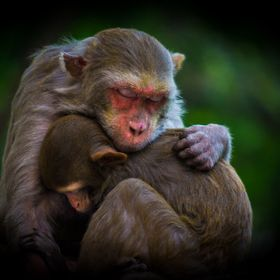 On a cold winter morning, during my walk I spotted this Mother Monkey with her child cuddled together and sleeping .      At first, I thought to...