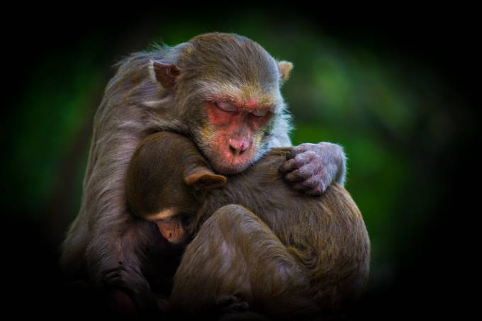Warmth Of Motherly Love... by RobbieRoss - Monkeys And Apes Photo Contest