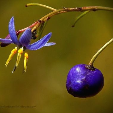 Dianella flower & resulting berry