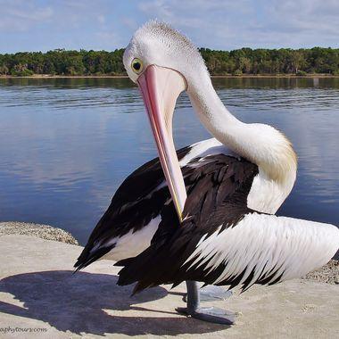 015b Pelican Pas De Deux