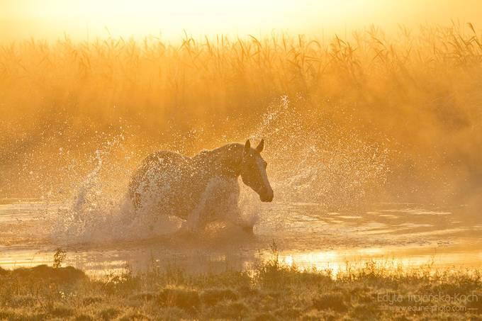 sunrise water horse mist by edytatrojaskakoch - Animals And Water Photo Contest