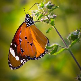 The monarch butterfly or simply monarch is a milkweed butterfly in the family Nymphalidae. Other common names depending on region include milkwee...