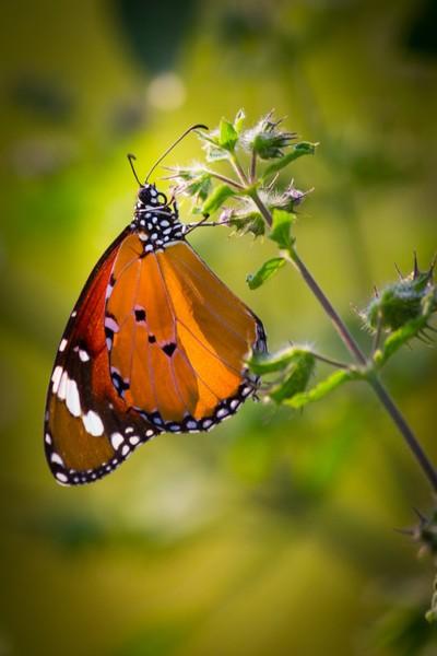 Monarch Butterfly....