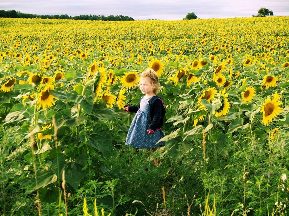 full bloom sunflower field in Northern Michigan