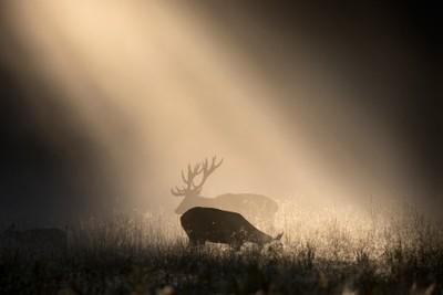 Deer Shadow Play