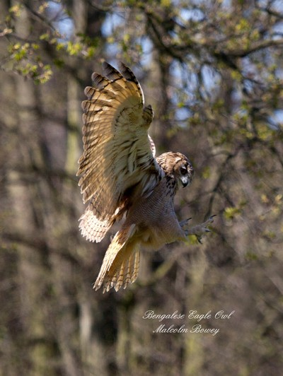 Bengalese Eagle Owl