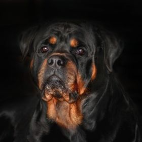 Bronson is one of our Rottweiler studs.  He has such a sweet personality.