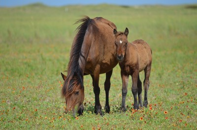 Wild horses - mare and colt