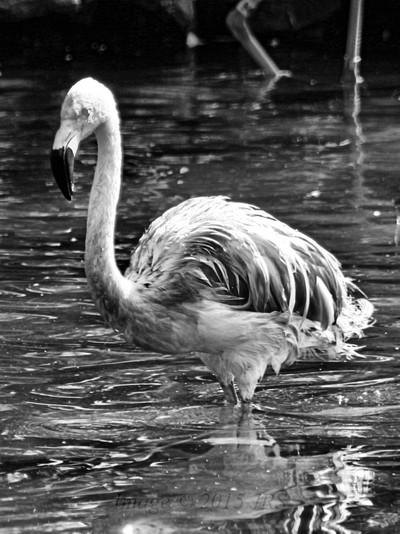 Flamingo in B&W