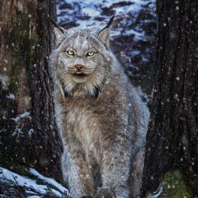 A Canadian Lynx in a snowy Ontario forest.