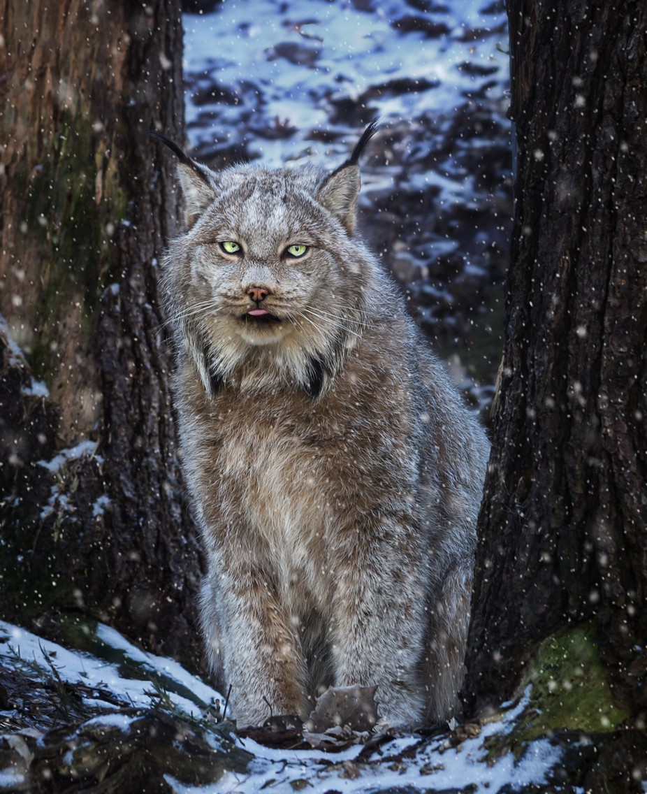 Winter Lynx by tracymunson - Green Eyes Photo Contest