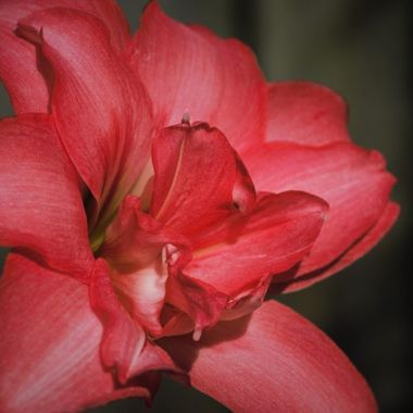 Double Hippeastrum - fully opened