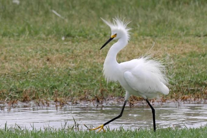 Snowy Egret 129