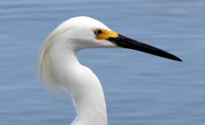 Snowy Egret 138