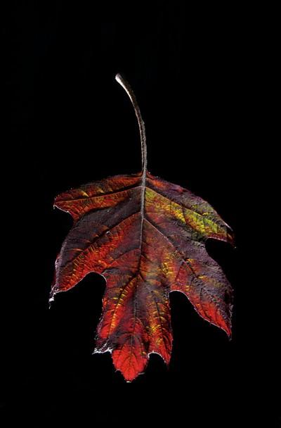 Back lit leaf1_1