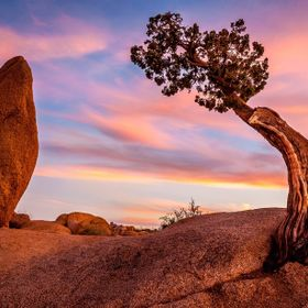 A huge granite monolith and a very tough Juniper tree in Joshua Tree National Park in California.