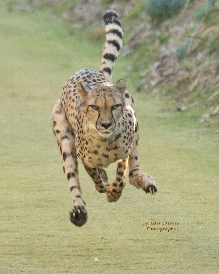 Cheetah by Glarki01 - Fast Photo Contest