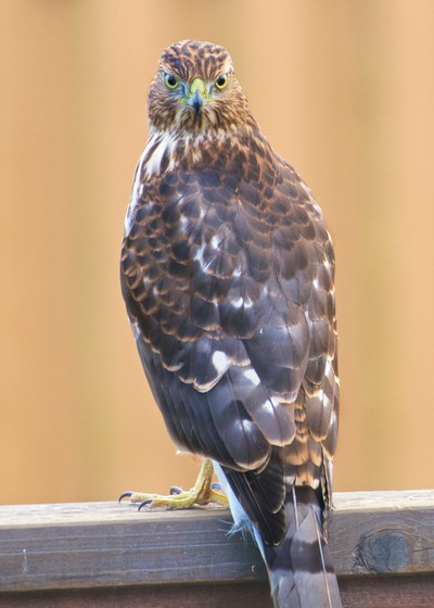 Sharp-shinned hawk staring me down