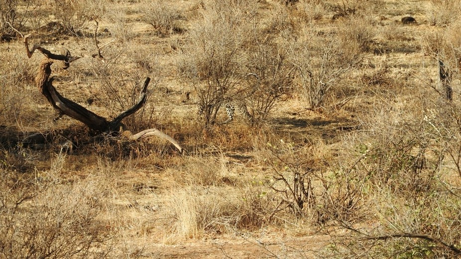 Leopards are masters of camouflage even in the midday Savannah. The most elusive of the big cats,...