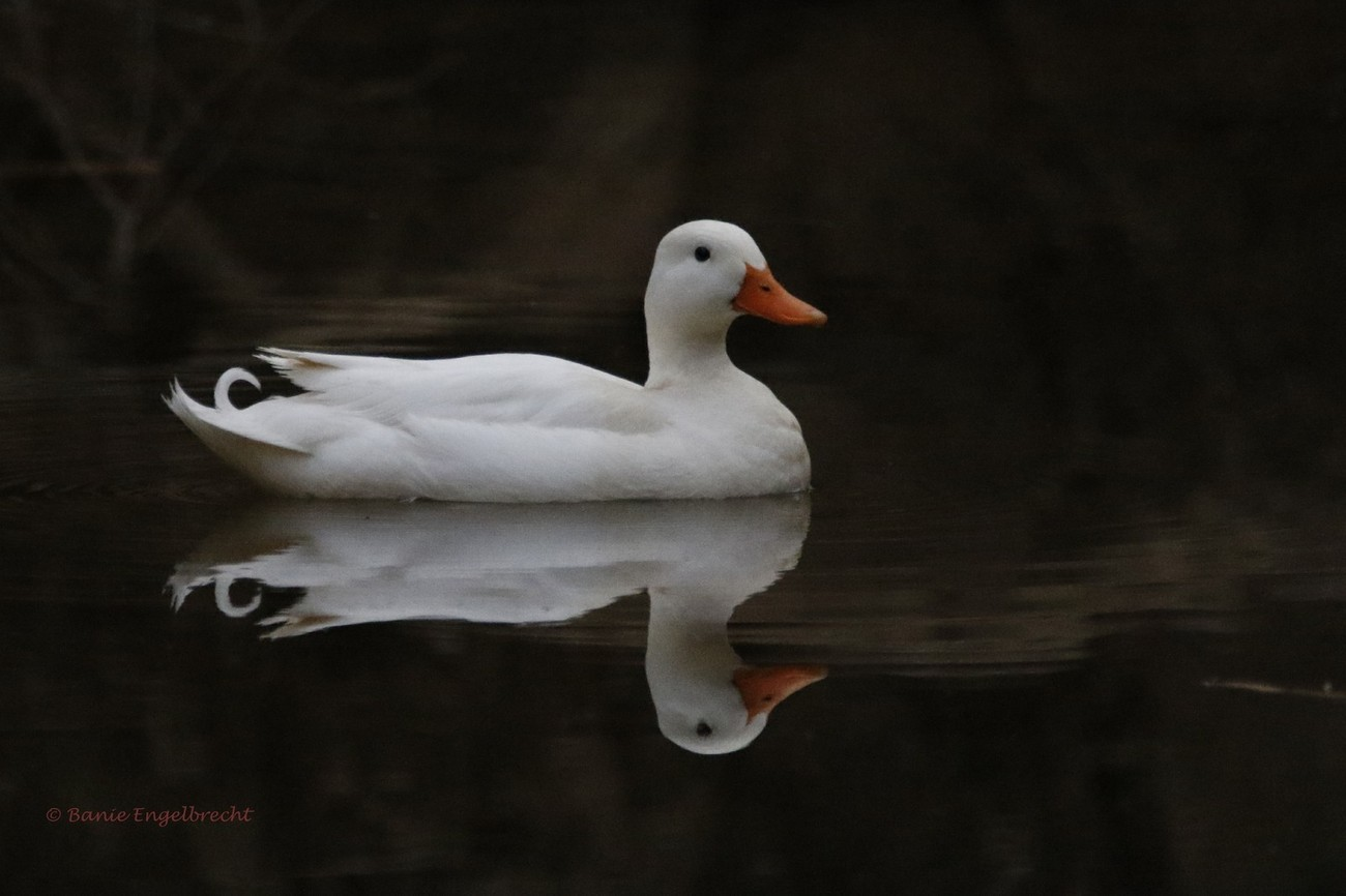This was taken at Matjiesfontein, South Africa late in the afternoon showing an almost perfect mirror image of the duck. Canon 7d, Sigma 150-600 C, f6.3, handheld, 1/1000 sec, ISO 6400, focal length 600mm, metering mode partial. I only cropped the image, otherwise it is as in the camera.
