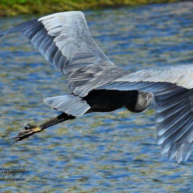 flying blue heron