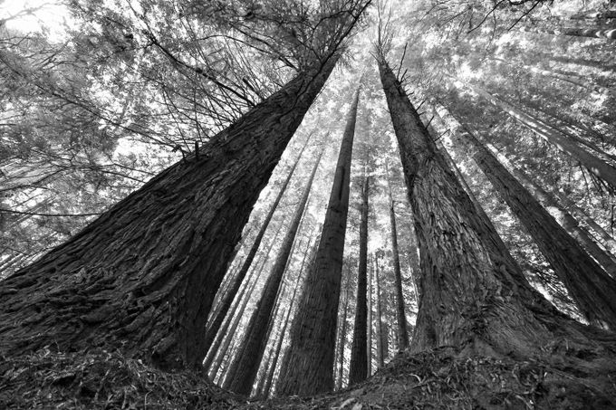 Aire Valley , Californian Redwoods by KHulm67 - A Black And White World Photo Contest
