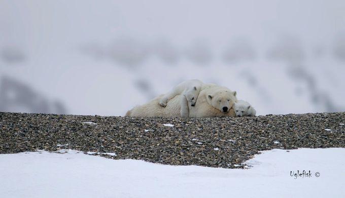 Polar bear love by paaluglefisklund - Small Wildlife Photo Contest