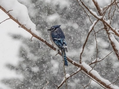 Bluejay in First Snowstorm