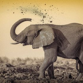 Elephant enjoying a mud bath, after having crossed the river, which cleansed it... Chobe river, Botswana.