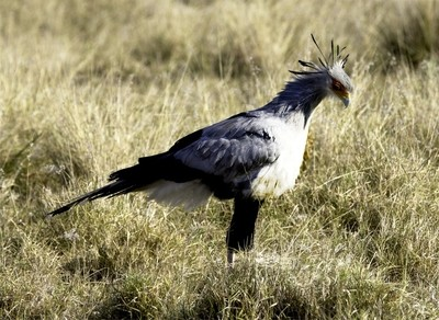 Secretary Bird © Brian Basson